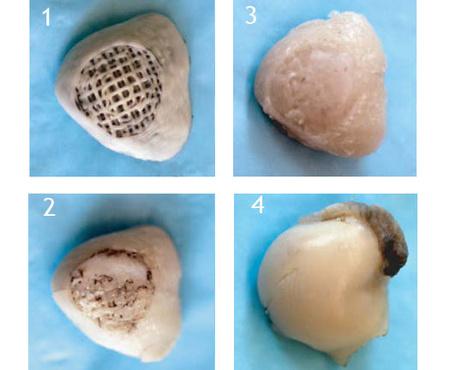 Rávették a nyúl saját sejtjeit arra, hogy kipótolják a hiányzó részt