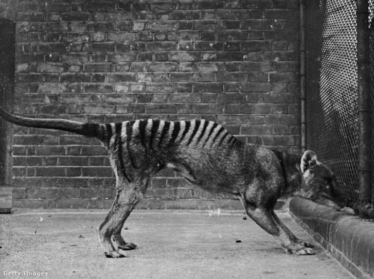 Fogságban tartott erszényes farkas a harmincas években