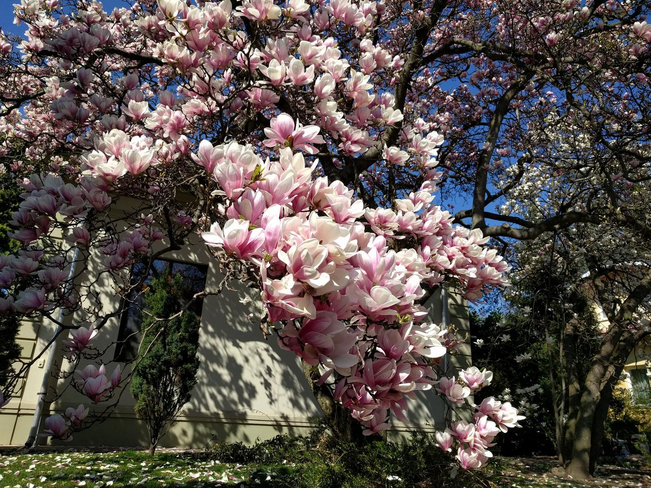 Több mint kétszáz fajuk van, de városnéző turistaként elég ha annyit jegyzünk meg, hogy hú ez milyen szép rózsaszín...