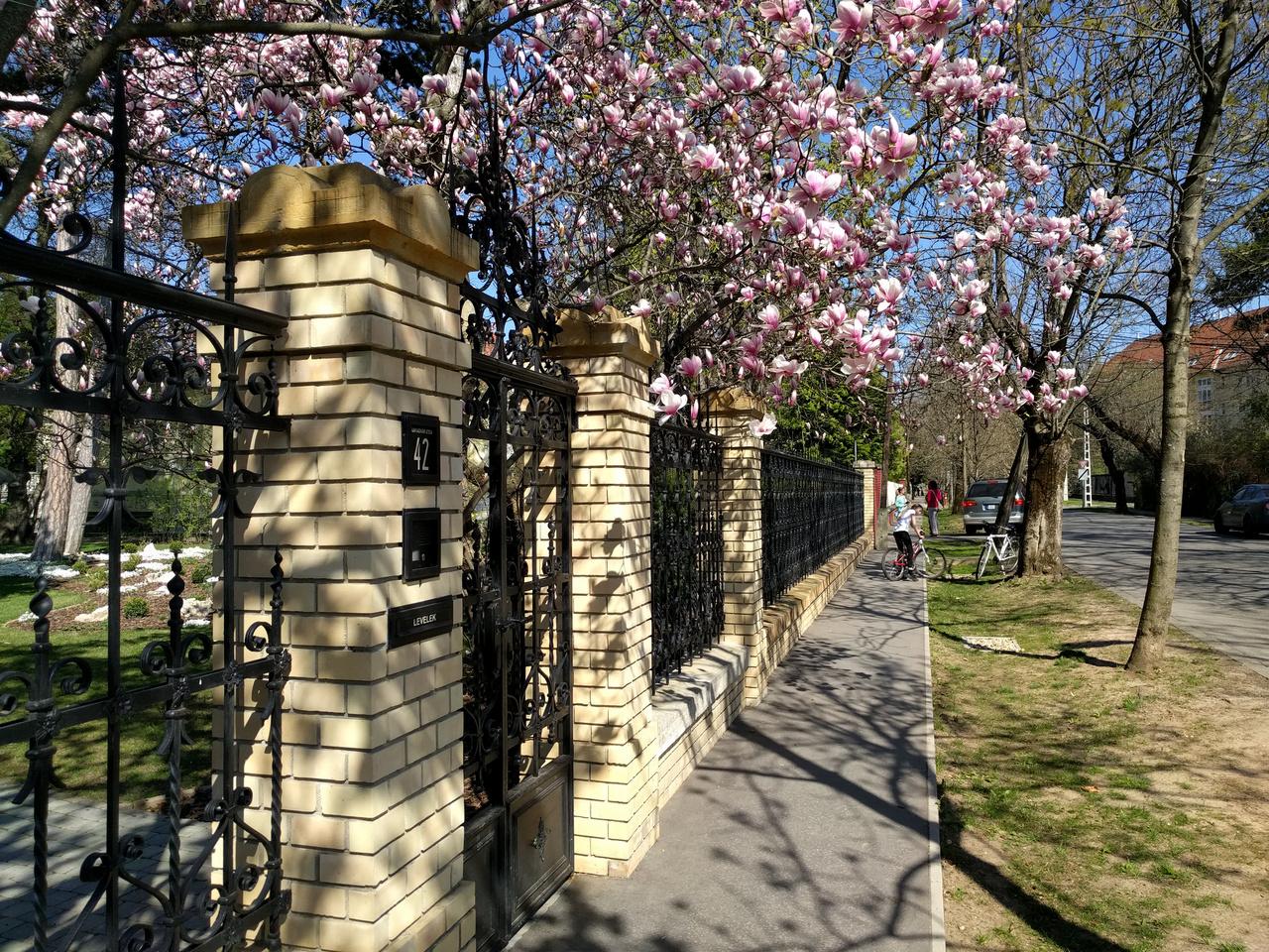 Ha szeretnétek virágzó magnóliákat látni, siessetek ti is oda. Persze ha lemaradtok, akkor sincs baj: jövőre ugyanilyen gyönyörűek lesznek ismét.