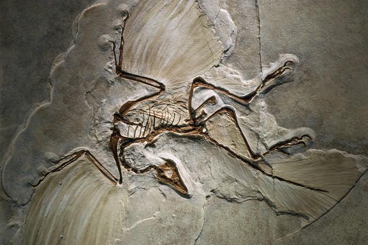 Archaeopteryx fosszília