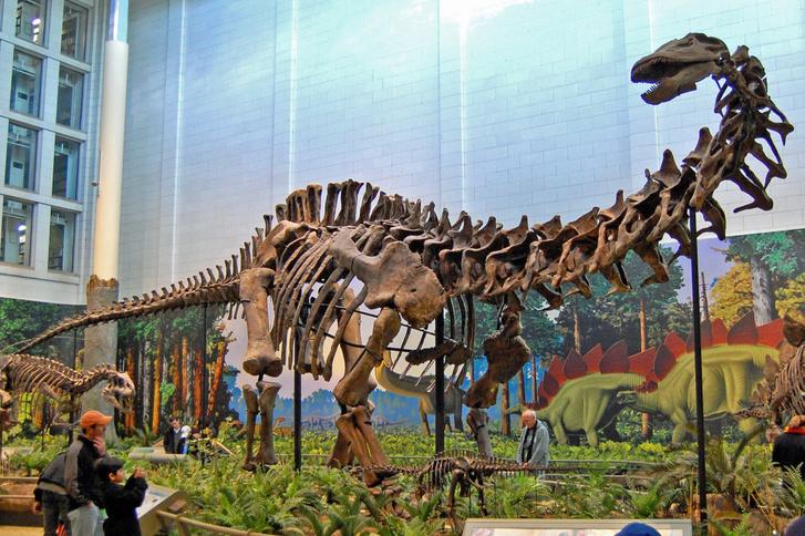Egy Apatosaurus csontváza