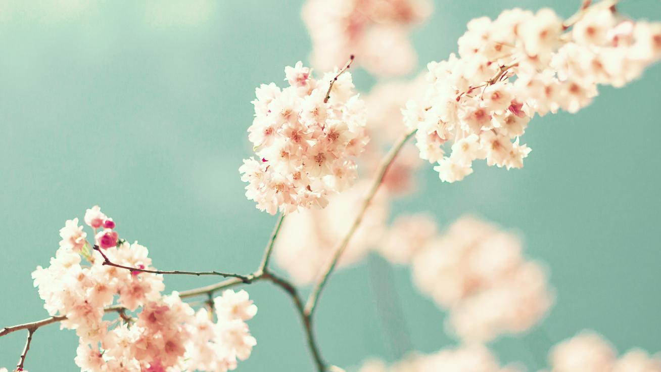 cseresznye virag cover
