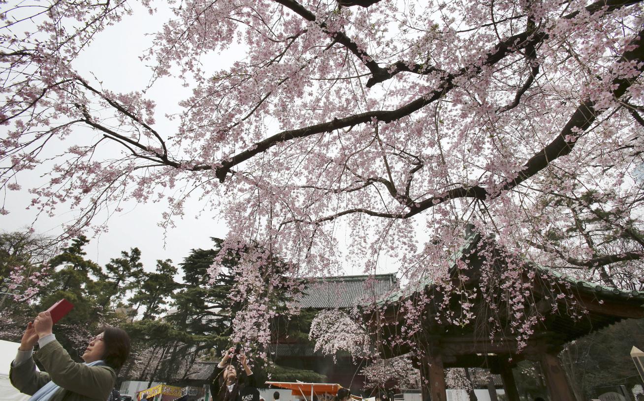 cseresznyefa-viragzas-5