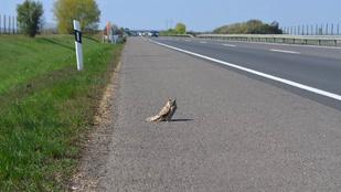 Az M3-as autópályán kért útbaigazítást egy bagoly