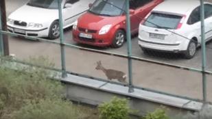 Segítsen ennek az őznek rájönni, hogy hova parkolt!