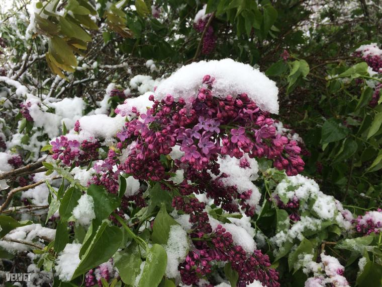 Érdekes látvány, ahogy a virágok is behavazódtak. A képet László küldte Kerepesről.