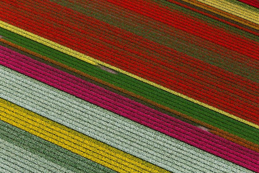 tulipan-mezo
