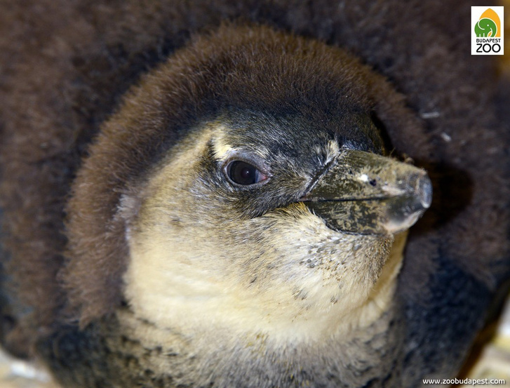 pingvinfioka01 foto Bagosi Zoltan(1)