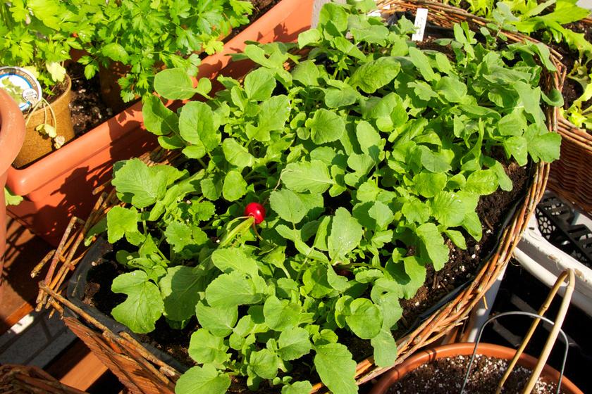 Retek: az élénkbíbor, ropogós retek a félárnyékot és a napot is bírja. Nemcsak a kertben, de egy nagy cserépben is hamar kibújik, csak ne ültesd a magjait nagyon sűrűn.