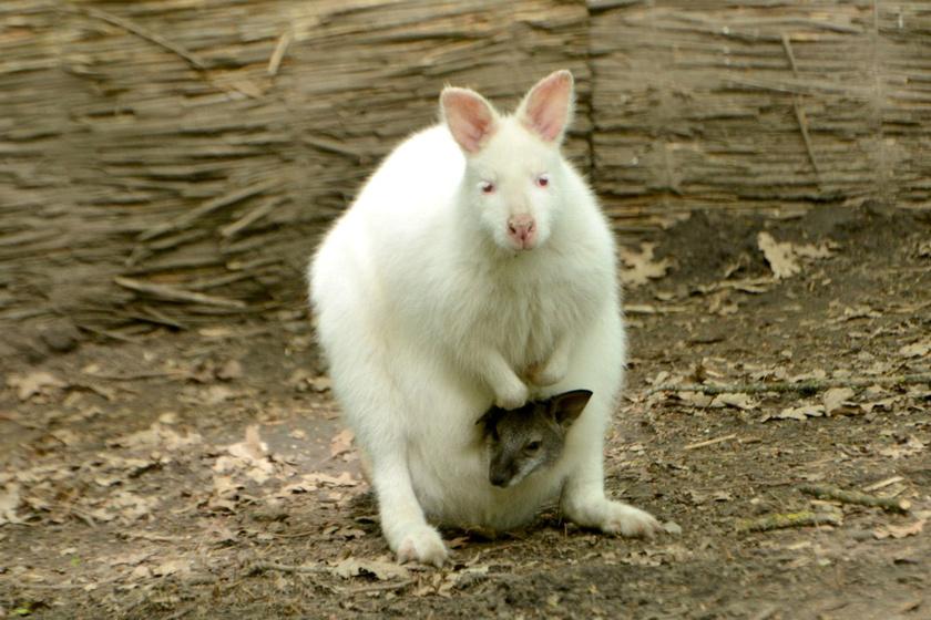 A jó idő beköszöntével egyre többet járnak ki a kis kenguruk, így a látogatók össze is hasonlíthatják őket.Fotó: Szegedi Vadaspark/Endrédi Lajos