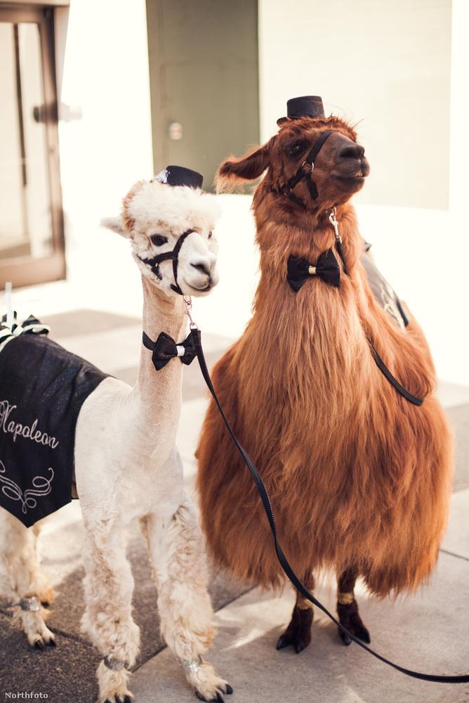 Az állatok természetesen kirittyentve mennek el az esküvőre, nem csak úgy beállítanak kalap meg nyakkendő nélkül!