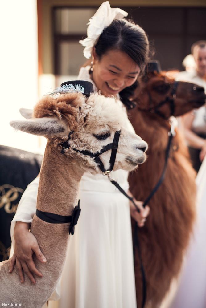 A szervezet az USA-n belül Oregon és Washington államban viszi el esküvőkre válogatott és trenírozott lámáit és alpakáit.