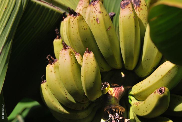 Vadon termő banán
