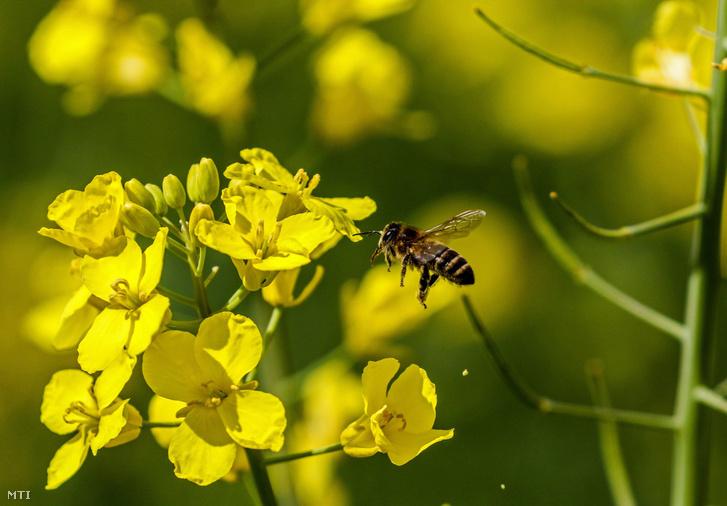 Házi méh egy virágzó káposztarepce közelében