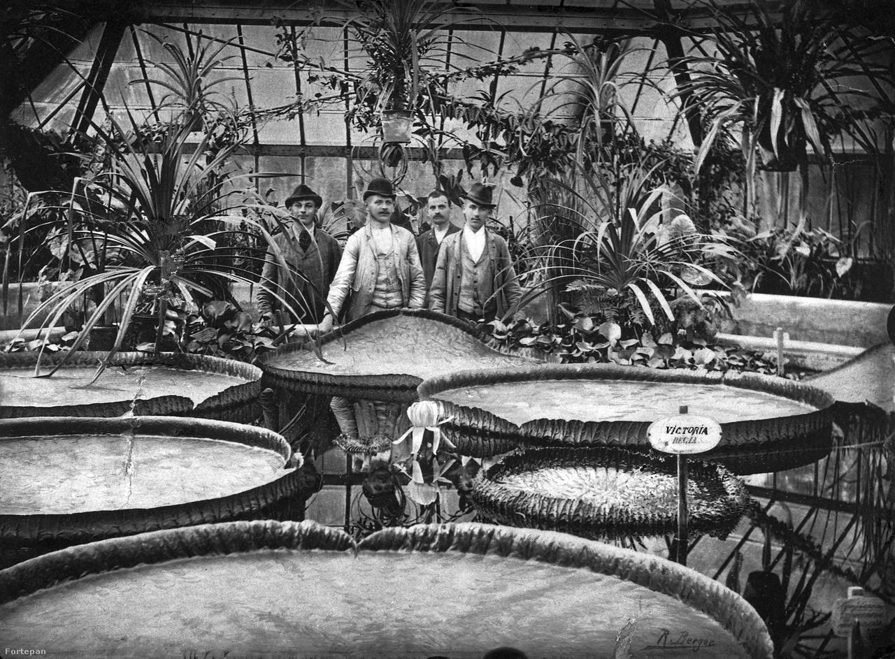 """Virágzó amazóniai tündérrózsák a Füvészkertben, 1905Az első kép kissé kilóg a válogatásból, hiszen a Füvészkert nem magán-, hanem közkert, és méretével sem versenyezhet egyetlen pesti """"talpalatnyi birtok"""" sem. A legendás Füvészkert, a vörösingesek tanyája és Nemecsek Ernő fürdőszobája mégsem nem maradhat lr egyetlen kertlistáról sem. 240 év alatt négyszer változtatott helyet, az 1840-as évek végén költözött az Illés utcába. Az akkor 18 holdas területen Gerenday Józsefre várt a kert megtervezése és benépesítése. Ő pedig nemcsak növényeket gyűjtött, hanem állatokat is – ezeket végül felesége nyomására az alakuló Állatkertnek adományozta. Így lett a Füvészkert csak a füveké."""