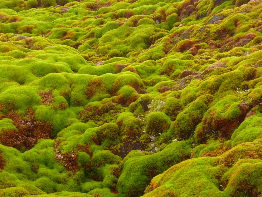 Így néz ki az Antarktika egyik felfedezett mohafaja: a moha a részben megolvadt talajon is képes növekedni.