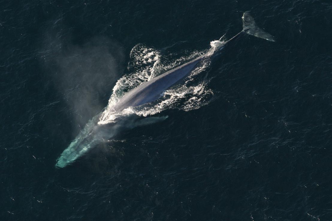 Egy kék bálna fölülnézetből