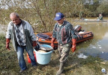Győr-Gyirmót, 2010. október 7: helyi halászok vödörbe gyűjtik az elpusztult halakat Gyirmot és Koroncó között a Marcal folyónál.
