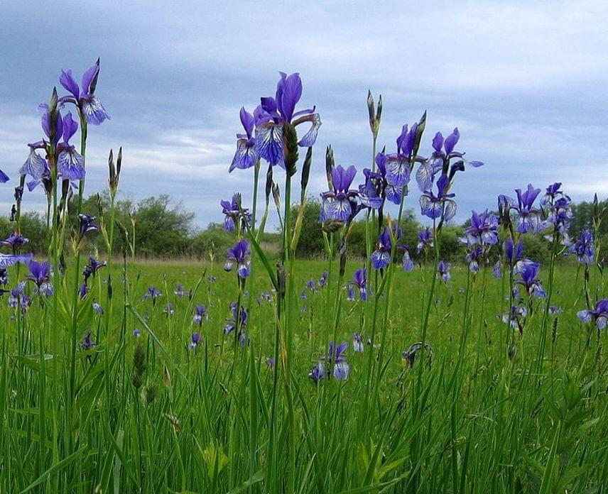 A májustól júniusig virágzó szibériai nőszirom - Iris sibirica - védett növényünk, melynek eszmei értéke 10 ezer forint. Hazánkban nedves réteken, láperdők szélén találkozhatsz vele.