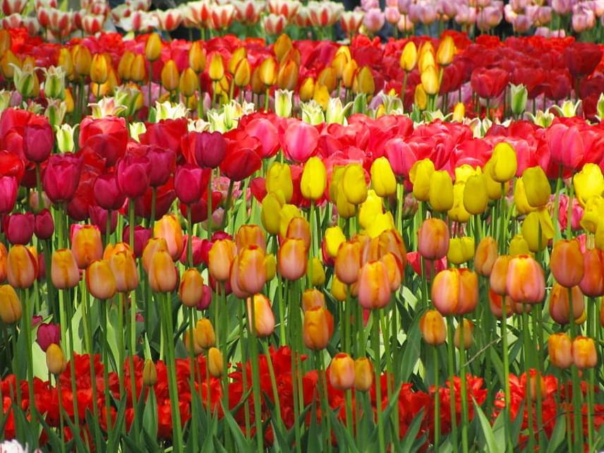 A leglátványosabbnak a tulipánok virágzása számít, amit április közepén érdemes megtekinteni. A hollandok számára a tulipán nemcsak egy virág, hanem egyik jelképük is.
