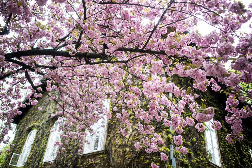 Káprázatosan szép látványt nyújt ez a japán díszcseresznye, rengeteg virág van rajta.