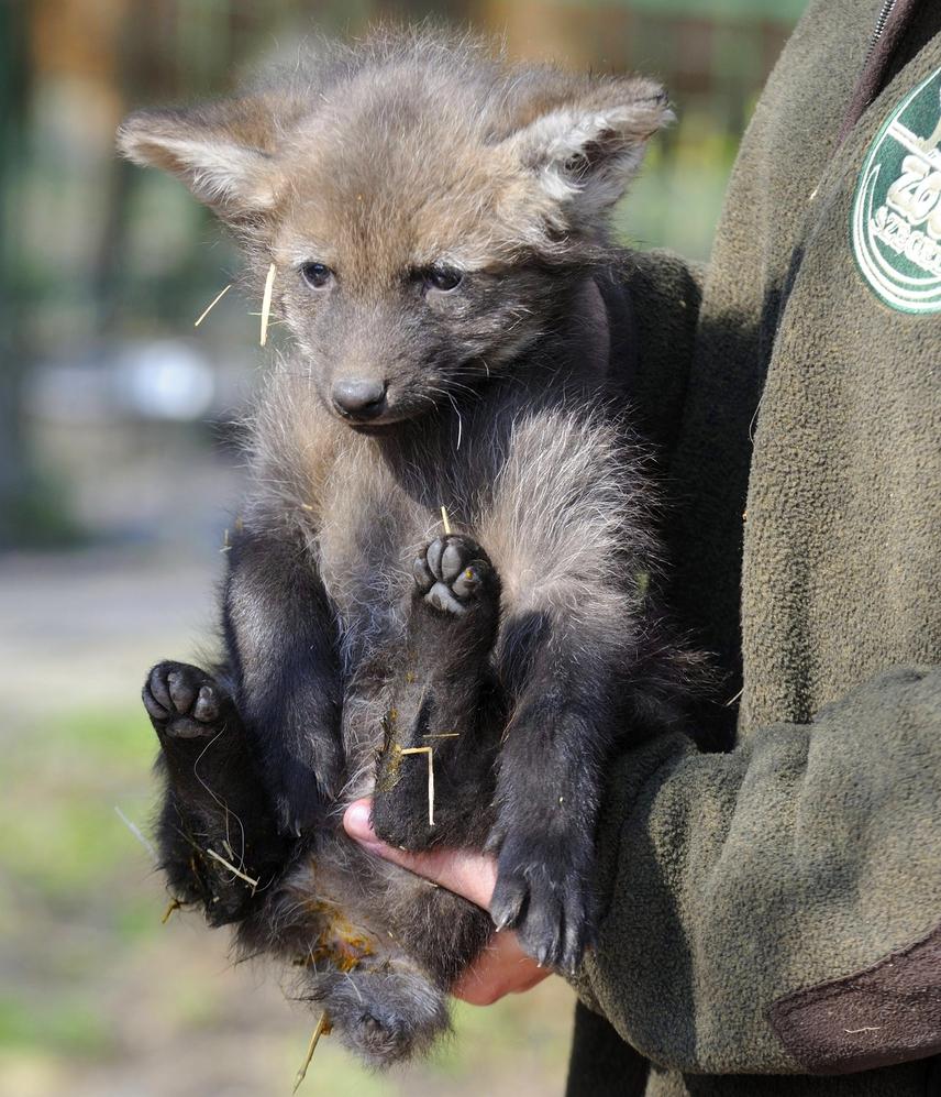 A kép készültekor - március 18-án - hathetes volt ez a sörényes farkas a Szegedi Vadasparkban. A parkban három sörényes farkas született, a faj jelenleg máshol nem látható Magyarországon.