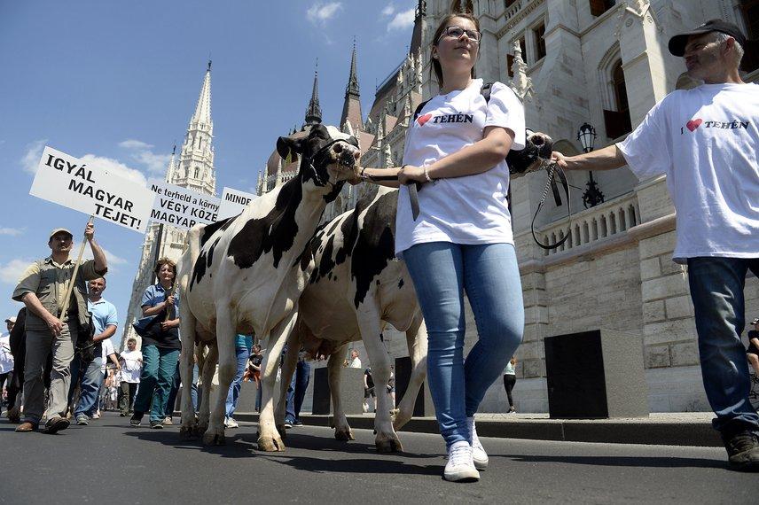 I love tehén. Reméljük, tényleg szeretik ezt a tehenet, és jó körülmények közt él, amikor éppen a fővárosba kirándul.