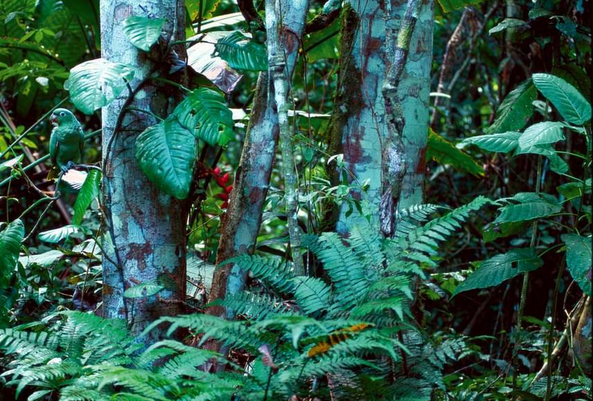 Nehéz megtalálni a kékkoronás amazon papagájt a képen, de ha rájössz, hogy a kép bal szélén, fent üldögél, már lehetetlennek tűnik nem észrevenni.