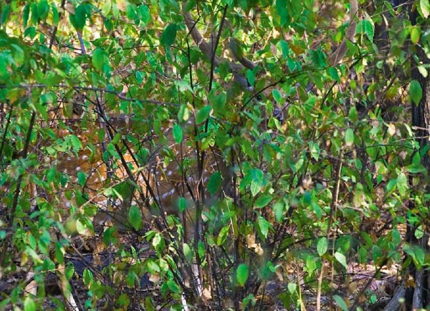A levelek mögött egy szarvas rejtőzik: a kép felső közepétől egy kicsit jobbra láthatod az agancsait és a szemeit.
