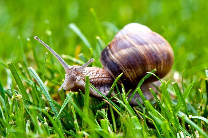 Bár van, ahol előszeretettel fogyasztják el mint csúcsgasztronómiai csemegét, a kertekben is gyakran megjelenő éti csiga Magyarországon szigorúan védett állatnak számít, melynek eszmei értéke példányonként 2000 forint.
