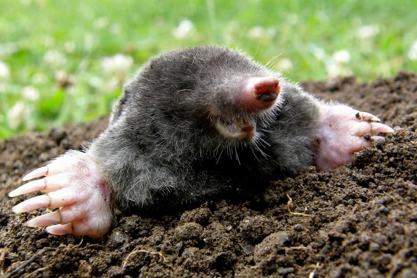 A vakondot sokan egyértelműen kártékony állatnak tartják, melyet irtani kell, holott amellett, hogy ez nincs így, még tilos is, a vakond ugyanis védett állat, melynek eszmei értéke 25 ezer forint. Gyümölcsösökben például nagyon jó szolgálatot tehetnek az apró állatok, mivel elfogyasztják a fák gyökereit pusztító lárvákat, de akkor is kizárólag csak természetes, életüket nem veszélyeztető módszerekkel lehet őket távol tartani a kerttől, ha zavarnak. Kattints ide, ha szeretnél megismerni néhányat ezek közül!