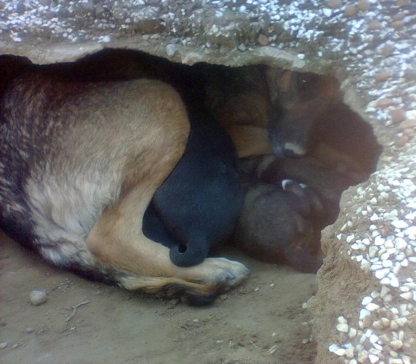 Ám amikor valaki közelebb merészkedett, rögtön kiderült, hogy a lyuk valójában a kutya otthona, ahol biztonságba helyezte a kiskutyáit.