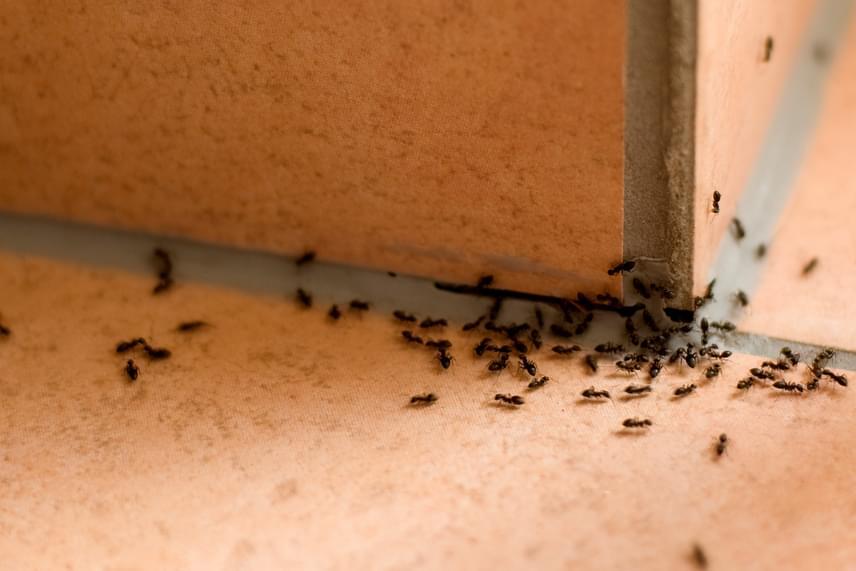 A teraszon és a kertben is megállíthatod a hangyavonulást, ha egy kis tálka ecetet teszel ki az adott területre, ki nem állhatják ugyanis a szagát.