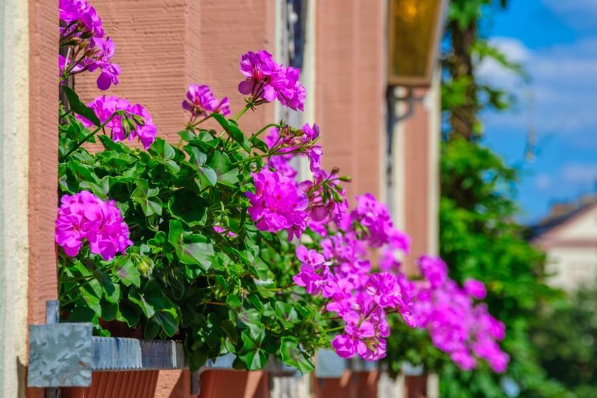 Különleges hangulatot teremthetsz az élénkebb színű virágokkal. A nyári, száraz időszakban öntözd naponta a muskátlit - ősszel elég két-háromnaponta is -, illetve tedd ezt lehetőleg a reggeli vagy az esti órákban, hogy ne érje sokkhatásként a növényt a hideg víz.