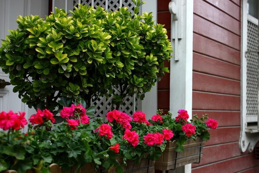 Más típusú növényekkel is tökéletes összhangot alkot az erkélyen. Ha beköszönt a hűvösebb őszi időjárás, semmiképpen se dobd ki a virágokat, ugyanis nem egynyáriak, átteleltetni is lehetséges őket: kattints ide, ha kíváncsi vagy, hogyan kell csinálni!