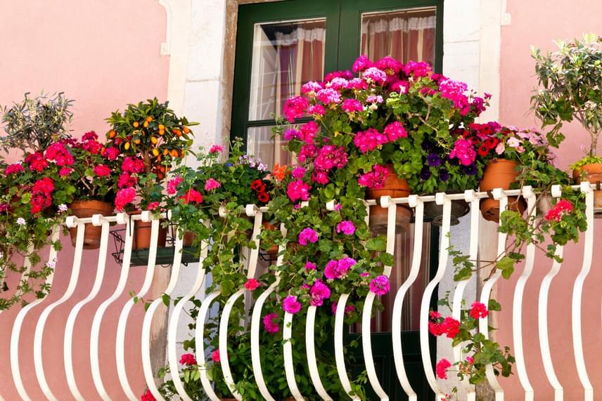 Igazi mediterrán hangulatot varázsolhatsz az erkélyre a színes muskátliknak köszönhetően. Ha szeretnéd, hogy a muskátli minden energiáját az új, szebbnél szebb virágok kibontására fordítsa, az elnyílt részeket távolítsd el róla rendszeresen.