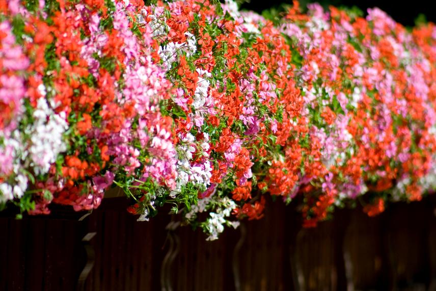 Sokak szerint annál jobb, minél több van belőle. Mint Szecsődy Gábor, az Aqua&Terra okleveles kertészmérnöke elmondta, az egyik legfontosabb tény a muskátlival kapcsolatban, hogy kifejezetten a napos helyeket kedveli, így ezt mindenképpen biztosítani kell számára, ha szeretnéd, hogy gazdagon borítsa kövér virágaival otthonodat. A futómuskátli esetében kissé változik a helyzet, jobban kedveli ugyanis az olyan helyeket, amelyeket a nap egyik felében ér csak a nap, míg a másik felében árnyékosak.