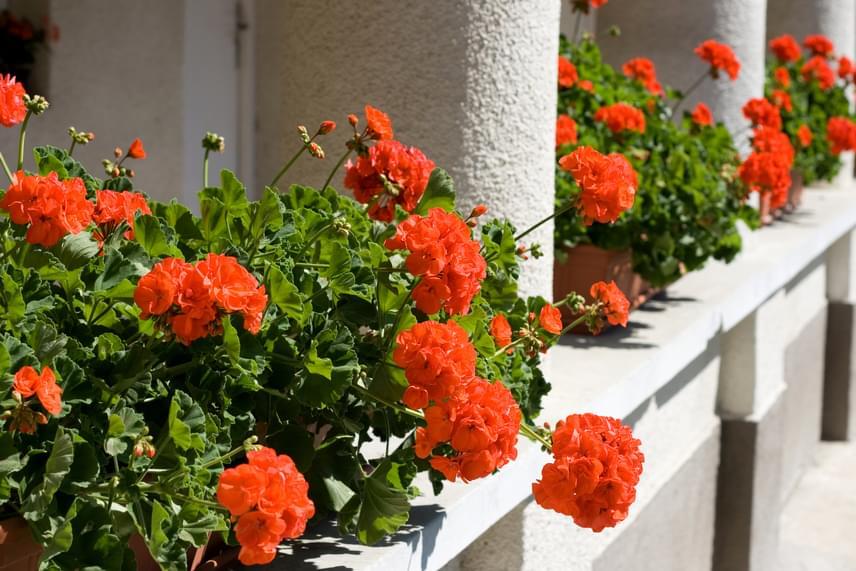 A vidéki verandák elengedhetetlen kiegészítője a piros muskátli. Ahhoz, hogy a muskátli folyamatosan, egészen őszig hozza a virágait, tápoldat is szükséges lehet, a virágboltokban, gazdaboltokban kapható kifejezetten muskátliknak szánt termék.