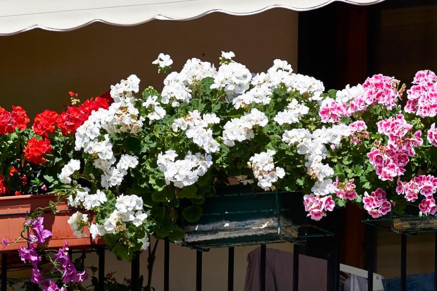 Többféle színt is érdemes variálni. Ügyelj azonban arra, hogy egy körülbelül méteres balkonládába ne ültess három-négy növénynél többet.