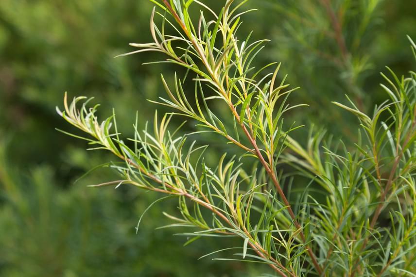 A teafaolaj szintén a szúnyogok által legkevésbé kedvelt illatok közé tartozik.