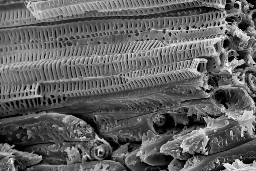 A kókuszdió héja három rétegből épül fel: egy külső, barna, bőrszerű terméshéjból, egy középső rostos terméshéjból és egy kemény, belső terméshéjból. Ezek különös, létraszerű felépítése és elhelyezkedésük szöge páratlanul erős védőburkot alkot.