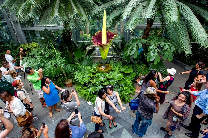 Már a virágzás első napján elöntötte a tömeg a washingtoni botanikus kertet: mindenki a világ legnagyobb virágára volt kíváncsi, sokan még szelfiztek is vele.