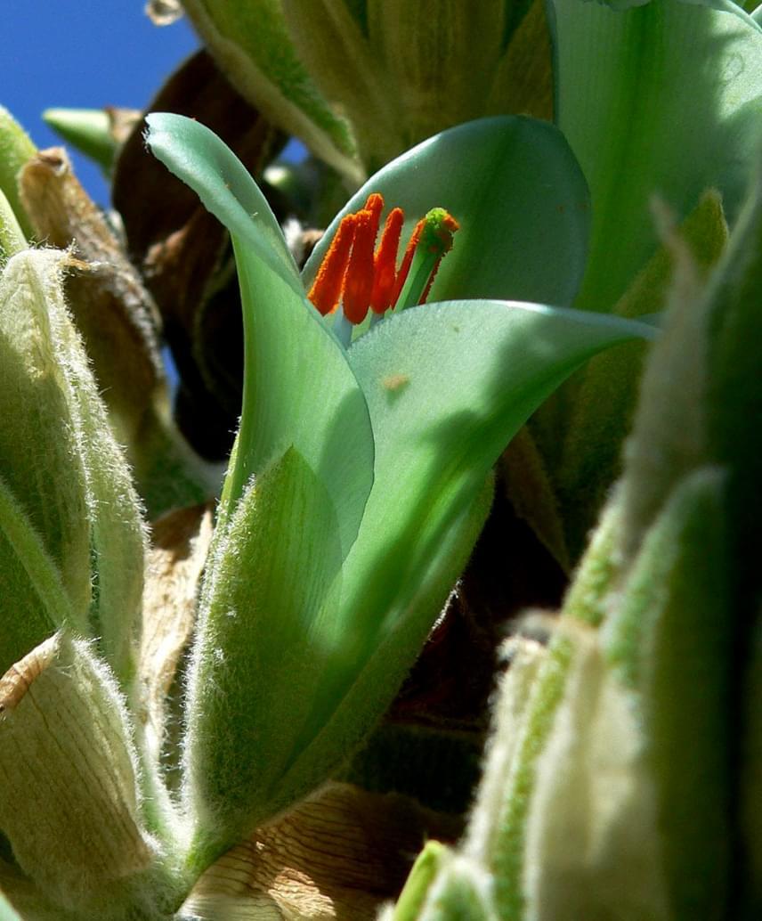 A Puya chilensis virága szépséges, ám a növény valódi ragadozó: zsákmányai általában kisebb testű állatok, ám nem ritka az sem, hogy birkákat is foglyul ejt. Amikor pedig az a növény szúrós levelei közé keveredik, nem bír többé mozdulni onnan, így éhen pusztul. A Puya chilensisnek pedig pont erre van szüksége: számára ugyanis a bomló test a legjobb trágya.