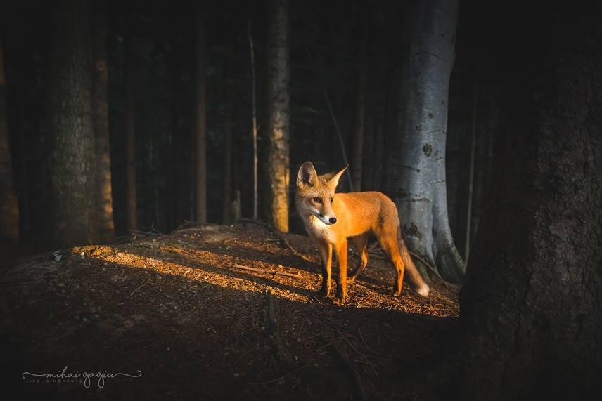 Fényképezőgépével és menyasszonyával járta az erdőt Mihai Gagiu, amikor a különleges róka hirtelen előtte termett, majd 20 percen keresztül közvetlen közelében mozgott. Mihai a káprázatos fényárban mozgó állatról egy gyönyörű képsorozatot készített.