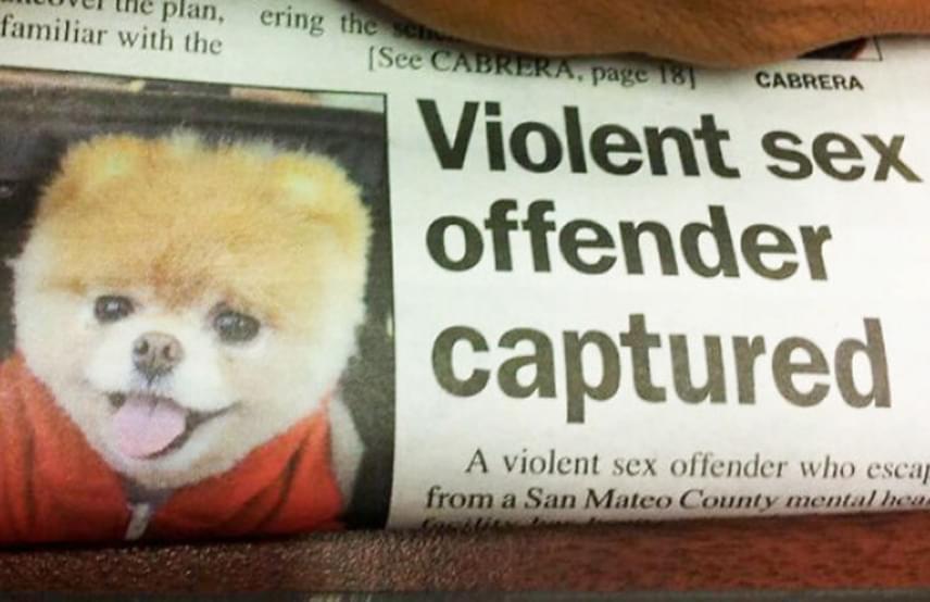 """""""Elfogták az erőszakos szexuális bűnözőt"""" - hirdeti a cím, és a kép alapján a híres kutya, Boo sajnos börtönbüntetésre számíthat."""