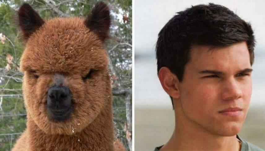 Taylor Lautner egy farkassá változó indián fiút, Jacob Blacket alakította az Alkonyat-filmekben, de ezt fotót elnézve simán átalakulhatott volna egy alpakkává is.