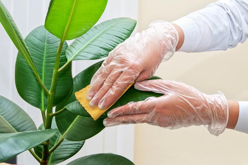 A majonéz is jóval sokoldalúbb, mint azt a legtöbben gondolnák, tökéletesen alkalmas például a szobanövények leveleinek ápolására. Ha egy keveset egy rongyra vagy papírtörlőre teszel belőle, majd azzal átkened a leveleket, fényesen zöldek lesznek, és a port is hosszú ideig taszítják majd.