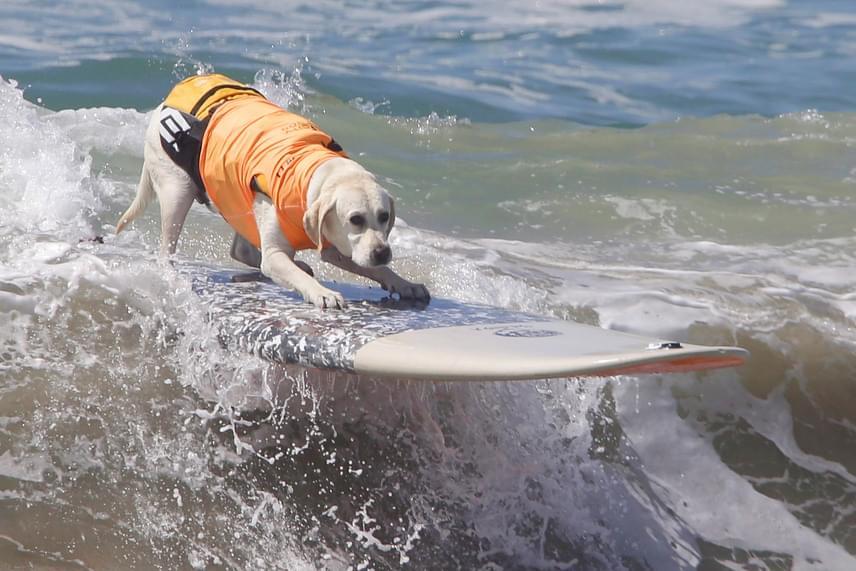Elképesztő, milyen profin egyensúlyoztak a kutyusok a szörfdeszkán az óriási hullámok között: ezzel olyasmit vittek véghez, ami az emberek nagy részének többszöri próbálkozás után sem biztos, hogy menne.