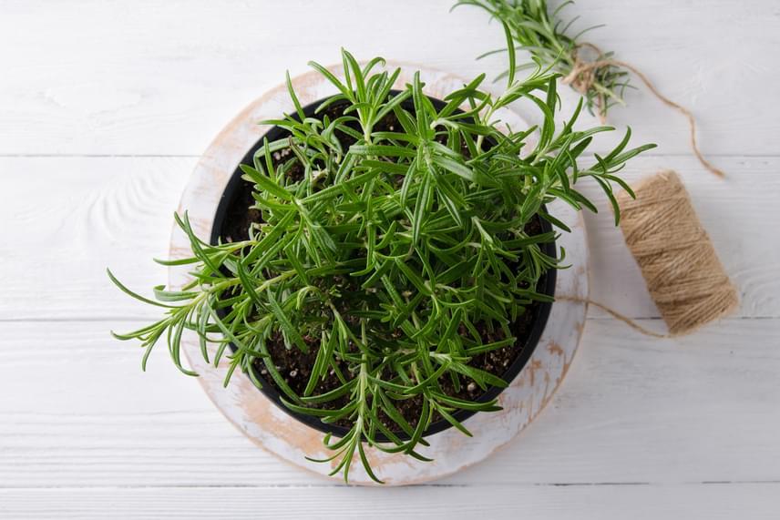 RozmaringAz emésztésjavító és keringésjavító fűszerként is használatos rozmaring kerti dugványról és magról is könnyen nevelhető. Figyelj az öntözésre, mert sokszor a szárazabb talajt kedveli, és olyan fajtát válassz, mely jól alkalmazkodik a benti környezethez: ilyen például a Blue Spire.